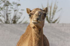 Chewing Camel. Chewing roadside Camel near Dubai, United Arab Emirates Royalty Free Stock Photography