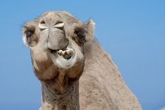 Funny looking camel in Morocco royalty free stock photography