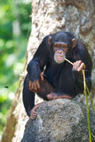 Chewing Chimp. Sitting chimpanzee chewing on a leaf and staring right at the camera Royalty Free Stock Image