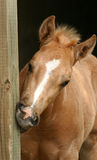 Chewing Colt. Palomino colt with white marking on face, blonde forelock sticking straight up, chewing on wooden post in barn Royalty Free Stock Images