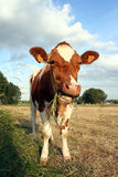 Chewing cow. Cow eating grass Royalty Free Stock Images