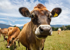A chewing cow. Looking surprisingly straight into the camera Stock Photos