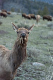Chewing Cow Elk Stock Photography
