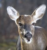 Chewing deer Royalty Free Stock Image