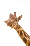 Chewing giraffe head curious look isolated on white background Royalty Free Stock Images