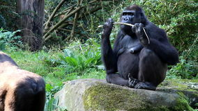 Chewing gorilla stock video