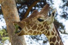 Chewing grass. A young giraffe (Giraffa camelopardalis) chews Royalty Free Stock Image