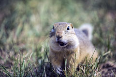 Chewing Groundhog. Prairie Ground Hog, eating granola stock photography