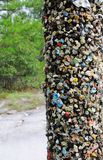 Chewing Gum Tree Royalty Free Stock Images