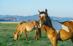 Chewing horse in the nature reserve of Lake Baikal Stock Photo