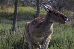 Chewing kangaroo. Australian kangaroo chewing on grass Stock Photo