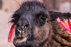 Chewing Lama Alpaca portrait. Funny portrait of chewing Alpaca with colorful decoration. Lamas and alpacas are very popular in Bolivia and Peru for their wool Royalty Free Stock Photography