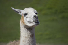 Chewing Llama. A brown and white llama (Llama glama) in a paddock, chewing on a mouthful of food Royalty Free Stock Image