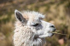Chewing llama Stock Photo