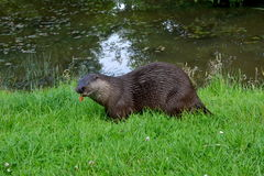 Chewing otter. An otter chewing food by a lake Royalty Free Stock Photo