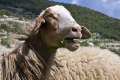 Chewing sheep. A sheep chewing grass in the field Stock Photography