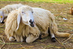 Chewing sheep. Lazy sheep is chewing grass that people feed them Stock Photography