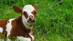 Chewing White And Brown  Calf Lying On Green stock video footage