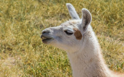 Chewing white lama in the Andes mountains Royalty Free Stock Photo