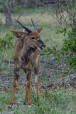 Chewing. Young nyala bull feeding in the bush Royalty Free Stock Image