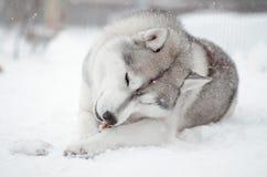 Chewnig grigio e bianco del cane del husky siberiano un ritratto dell'osso nel prato della neve Fotografia Stock