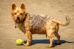 Chewy the terrier Stock Photo