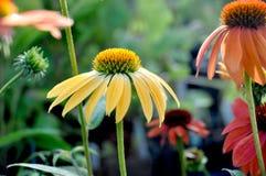 Cheyenne ducha Echinacea Fotografia Royalty Free