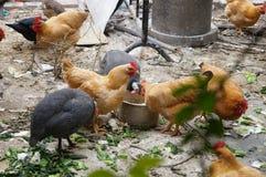Chez les poulets extérieurs d'élevage Photographie stock libre de droits