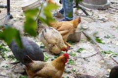 Chez les poulets extérieurs d'élevage Photo stock