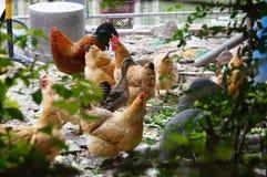 Chez les poulets extérieurs d'élevage Images stock