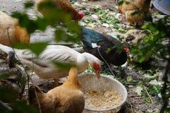 Chez les poulets extérieurs d'élevage Photographie stock