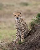 Chhetah Cub on Termite Mound Stock Photos