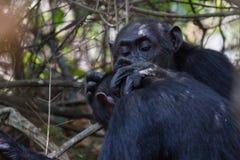 Chhimpanzee het verzorgen Royalty-vrije Stock Foto