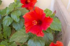 Chińczyk róży piękny czerwony tropikalny kwiat Obrazy Stock