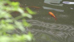 Chińczyk ryba w miasto parku zbiory wideo