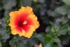 Chińczyk wzrastał, także dzwoni poślubnik, należy rodzina Malvaceae fotografia royalty free