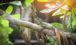 Chi?czyka Zielony Wodny smok na ga??ziastym drzewie, Wielkich jaszczurki zieleni iguanach/ obraz royalty free