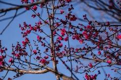 Chińscy śliwkowi okwitnięcia przeciw niebieskiemu niebu, zdjęcia stock