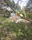 Chińska brzoskwinia kwitnie w mój szkole fotografia stock