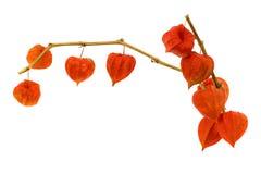 Chińska latarniowa pęcherzycy franchetii roślina odizolowywająca na białym tle obraz royalty free