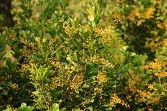 Chińska pachnidło roślina, frafrant kwiaty fotografia royalty free