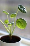 chińska pieniądze roślinnych Zdjęcia Royalty Free