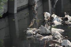 Chińska Stawowa czapla na zanieczyszczającej drodze wodnej w Pattaya Tajlandia Obraz Stock
