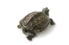 Chiński żółw Fotografia Royalty Free