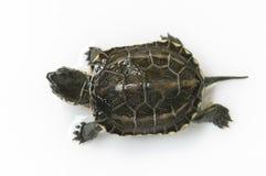 Chiński żółw Zdjęcia Stock