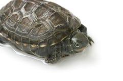 Chiński żółw Zdjęcie Stock