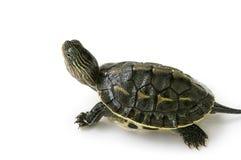 Chiński żółw Zdjęcie Royalty Free