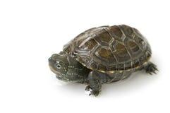 Chiński żółw Obraz Stock