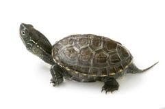 Chiński żółw Obrazy Stock