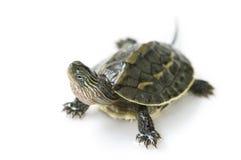 Chiński żółw Obrazy Royalty Free